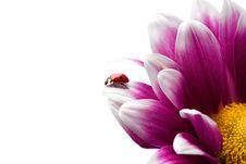 Free Ladybug On Flower Stock Photos - 14694523