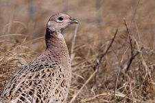 Pheasant Male Bird In The Dunes Royalty Free Stock Photo