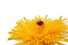 Free Ladybug On Flower Royalty Free Stock Image - 14694526