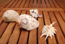 Free Sea Shell Royalty Free Stock Image - 14695026