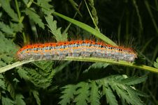 Free Buff-tip (Phalera Bucephala) - Caterpillar Stock Photo - 14696290