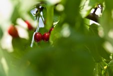 Free Cherries In The Tree Royalty Free Stock Images - 14697049