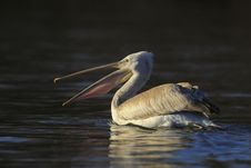 Free Pelican In Sunlight Stock Photo - 14697390