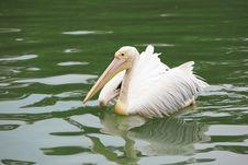 Pelican In The Lake Stock Photos