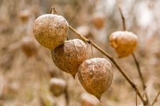 The Fruits Of Physalis Alkekengi Royalty Free Stock Photos