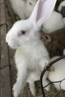 Free White Rabbit Royalty Free Stock Photos - 14698378