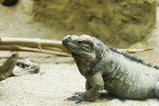 Free Rhinocerus Lguana Stock Photography - 14699722