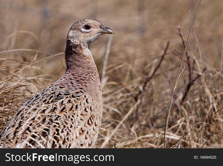 Pheasant male bird in the dunes