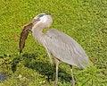 Free Great Blue Heron With Catfish Stock Photo - 1470150