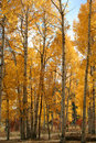Free Fall Aspens Stock Images - 1477264