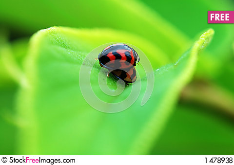 Free Ladybirds Mating On Leaf Royalty Free Stock Photos - 1478938