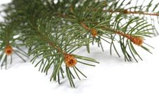 Free Isolated Pine Branch Royalty Free Stock Photos - 1470008