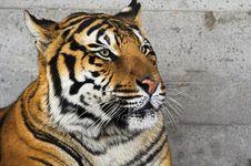 Free Siberian Tiger Royalty Free Stock Photo - 1470045