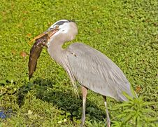 Free Great Blue Heron With Catfish Stock Photo - 1470150