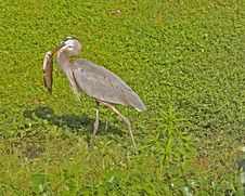 Free Great Blue Heron Carrying Catfish Stock Image - 1471111