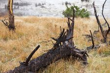 Free Festered Trunk In Yellowstone National Park Royalty Free Stock Photo - 1471595