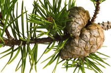 Free Isolated Pine Branch With Cones Royalty Free Stock Photos - 1473328