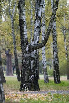 Free Birches In Autumn Stock Photography - 1473722