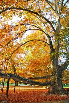Free Tree And Leaves Royalty Free Stock Image - 1474096