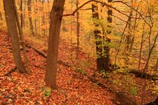 Free Autumn Paints The Forest Floor In A Sea Of Dazzling Orange. Royalty Free Stock Photography - 1474867