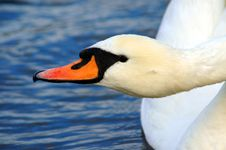 Free Swan Stock Images - 1474884