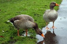 Free Gooses Royalty Free Stock Photo - 1475055