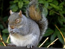 Free Squirrel Stock Photography - 1475122