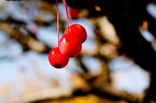 Autumn Foliage: Red Berry. Stock Photography