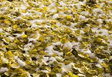 Free Yellow Leaves Under A Snow Stock Image - 1476151