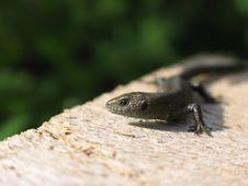 Free Lizard Royalty Free Stock Photos - 1476358