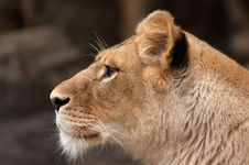 Free Portrait Of A Female Lion Royalty Free Stock Photography - 1476557
