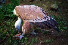 Free Vulture Stock Photo - 1476600