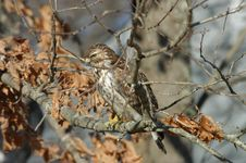 Free Hawk In Camouflage Royalty Free Stock Image - 1477376