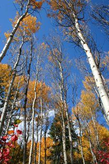 Free Fall Aspens 5 Royalty Free Stock Photo - 1477585