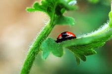 Ladybird Hiding On Leaf Stock Images