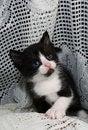 Free Black & White Tuxedo Kitten Royalty Free Stock Photo - 14700765