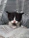Free Black & White Tuxedo Kitten2 Royalty Free Stock Photography - 14700777