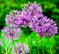 Free Blue Sphere Flowers Royalty Free Stock Photos - 14704528