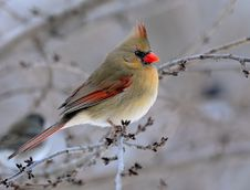 Free Cardinal Perched In Winter Tree Stock Photos - 14700253