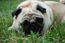 Free Dog Breed Pug Royalty Free Stock Photos - 14700388