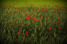 Free Poppy Meadow Royalty Free Stock Photography - 14701227