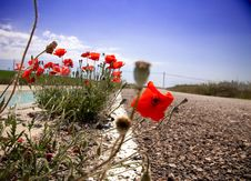 Free Poppies In The Road Stock Photo - 14701380