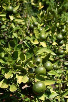 Free Green Oranges Royalty Free Stock Photos - 14701468