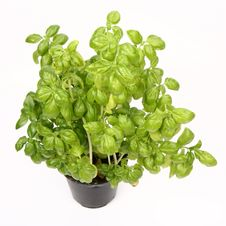 Free Basil Royalty Free Stock Image - 14701486