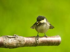 Free Coal Tit Fledgling. Periparus Ater. Royalty Free Stock Images - 14701759