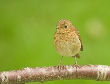 Young Robin: Rubecula Erathacus. Royalty Free Stock Images