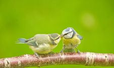 Free Blue Tit Parent Feeding Fledgling. Royalty Free Stock Photography - 14701777