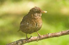 Free A Young Blackbird, Turdus Merula. Royalty Free Stock Photography - 14701787