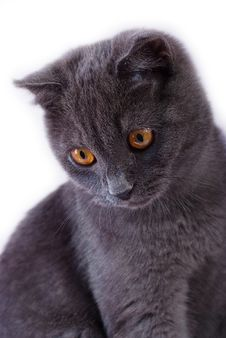 Free Young British Blue Cat Royalty Free Stock Image - 14701846