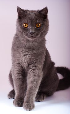 Free Young British Blue Cat Royalty Free Stock Photography - 14701857